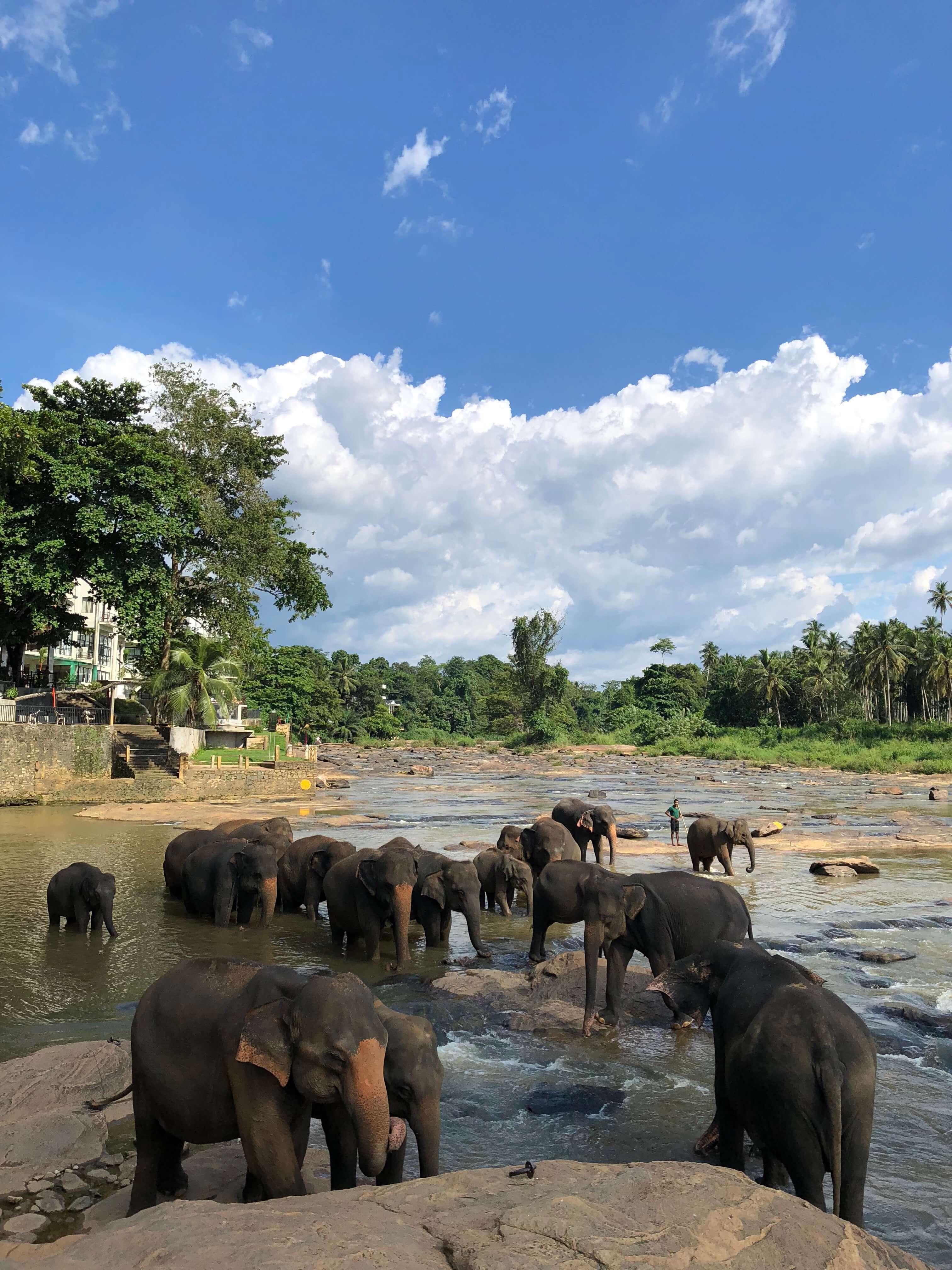 The Pinnawala Elephant Orphanage